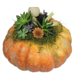 large succulent pumpkin $39.98