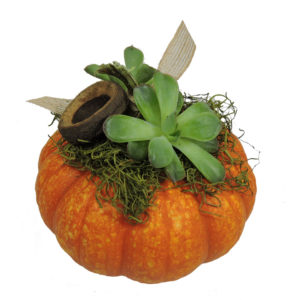 med pumkin with succulent
